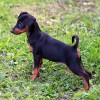 Multatuli Loverush - 12wks